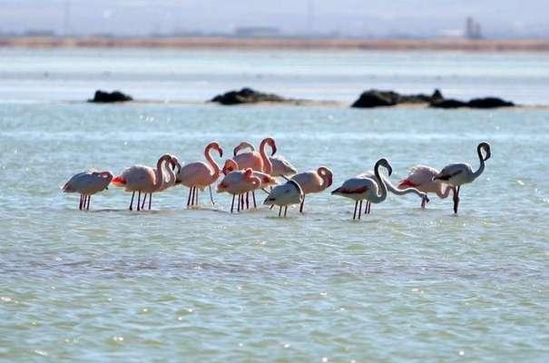 جمعیت پرندگان مهاجر در تالاب میقان اراک افزایش یافته است