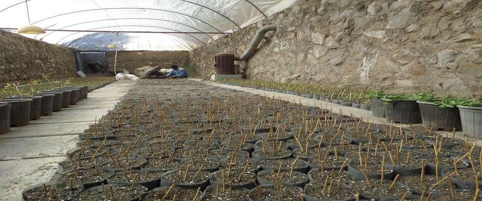 شروع قلمه گیری و تکثیر گیاهان مورد نیاز فضای سبز در گلخانه های شهرداری