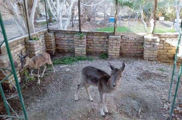 طرح سرشماری پاییزه پستانداران شاخص در ایلام اجرا شد