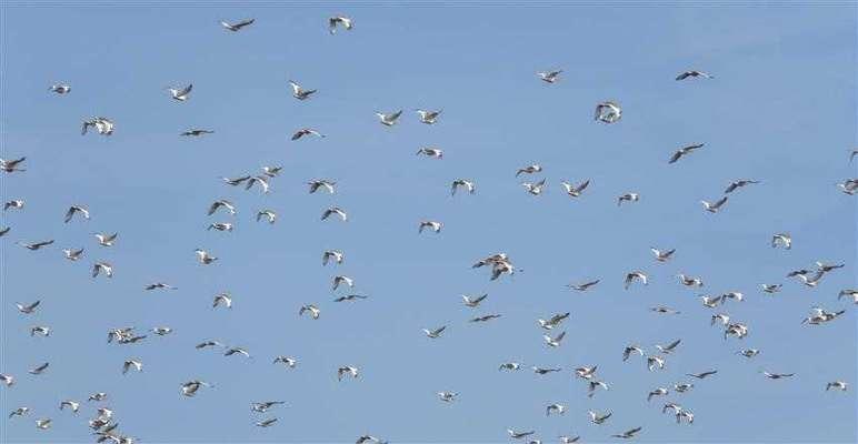 دشت مغان پناهگاه هزاران پرنده کمیاب زنگوله بال