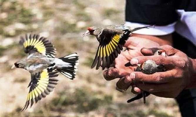 کشف و رهاسازی ۱۰۵ قطعه پرنده سهره در آستارا