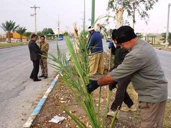 کاشت پاجوش نخل در شهر مهران آغاز شد
