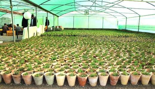 تولید بیش از ۶۰۰ هزار نشاء انواع گل در گلخانههای سطح منطقه تا پایان سال
