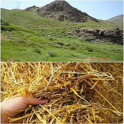 مناطق حفاظت شده استان کردستان، در شرایط معمولی نیازی به علوفه ریزی دستی ندارند