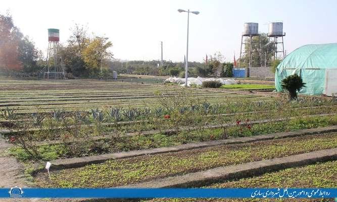پرورش بیش از 20 هزار قلمه شمشاد هیرکانی در گلخانه شهرداری