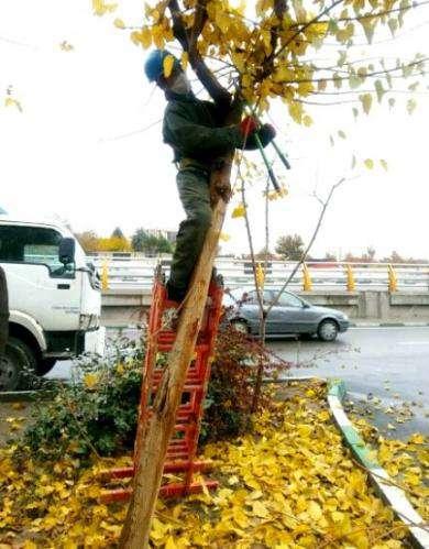 آغاز هرس زمستانه درختان معابر و فضای سبز بافت پیرامون حرم رضوی
