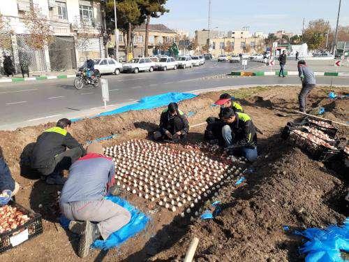 کاشت بیش از 5 هزار مترمربع گل های پیازی در فضای سبز سطح شهر مشهد