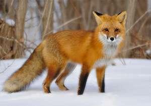 رهاسازی یک قلاده روباه در زیستگاه طبیعی