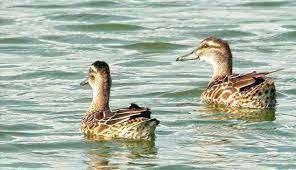 مجوز شکار پرندگان آبزی و کنار آبزی در قم صادر نمی شود