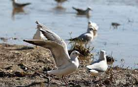 افزایش مراقبت از پرندگان مهاجر گیلان