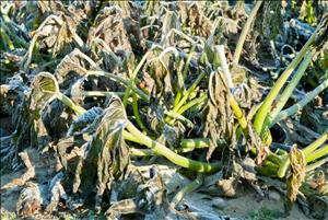 کشاورزان دزفول برای جلوگیری از سرمازدگی محصولات شبانه آبیاری کنند