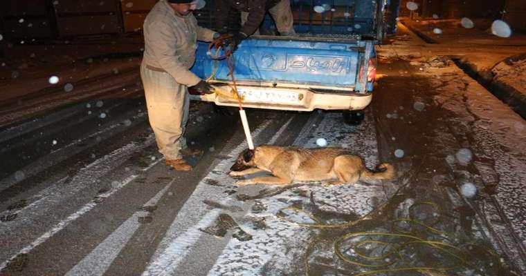 عملیات زنده گیری و جمع آوری سگهای ولگرد توسط شهرداری سلماس از معابر سطح شهر