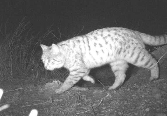 ثبت نخستین مشاهده گربه وحشی در منطقه حفاظت شده باشگل