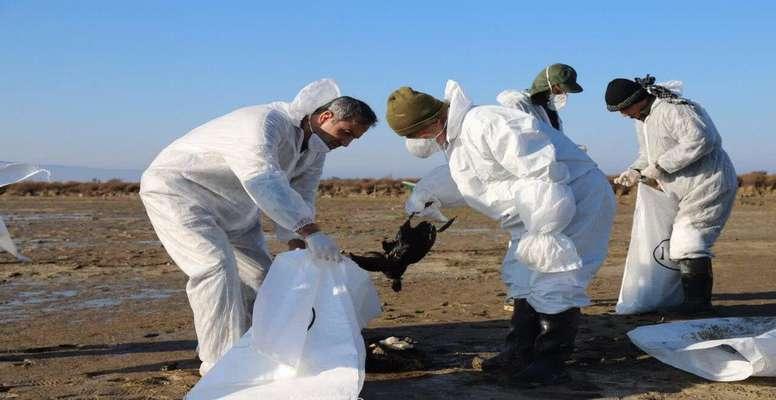 افزایش میزان تلفات پرندگان مهاجر در تالاب میانکاله؛ پس از چهار روز