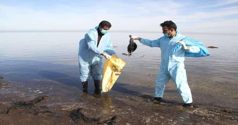 جمع آوری و دفن بهداشتی تلفات پرندگان مهاجر آبزی پناهگاه حیات وحش میانکاله