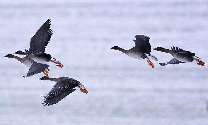 سواحل جنوبی دریاچه ارومیه میزبان نخستین دسته از غازهای مهاجر