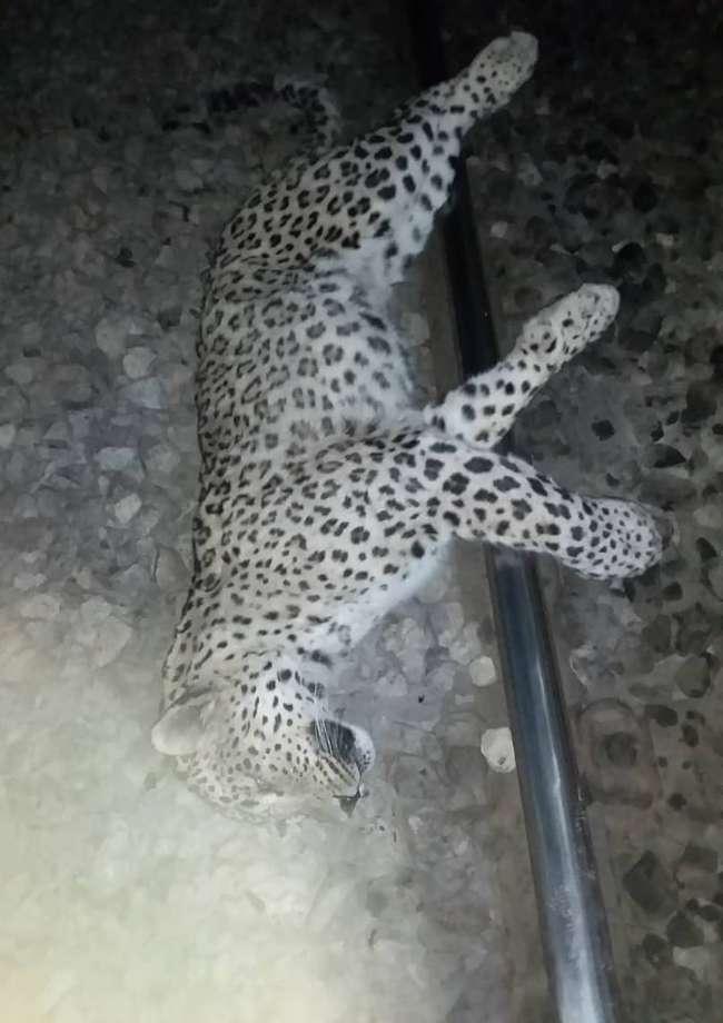 تداخل عامل انسانی با طبیعت، بازهم حادثه آفرید /تلف شدن یک قلاده پلنگ در فیروزکوه