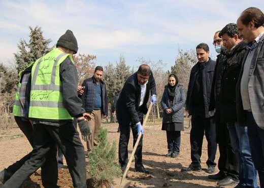 غرس یک اصله درخت کاج توسط شهردار منطقه۴ تبریز