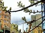 نوید بهار در ارومیه با شکوفههای زرد بیدمشک در معابر سطح شهر