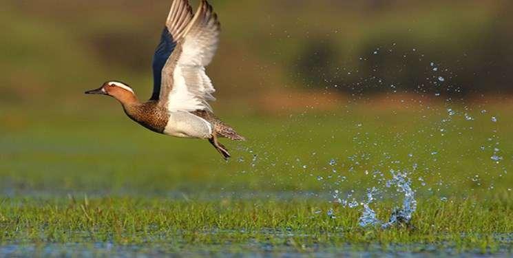 بازگشت پرندگان به تالابهای خوزستان