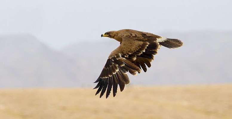 تیمار و رهاسازی یک بهله عقاب در قصرشیرین
