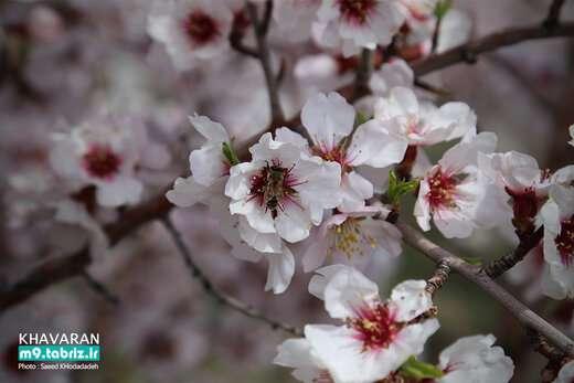 شکوفه باران طبیعت در تفرجگاه بزرگ ایل باغی