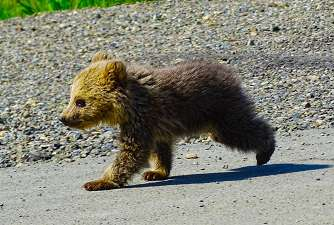 تولهی خرس تلف شده در مریوان به پارک پردیسان انتقال داده شد
