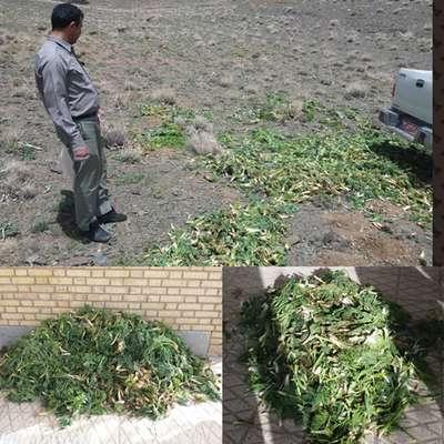 كشف بيش از 300 كيلوگرم گياه آنغوزه همراه با دستگيري 7 متخلف در گلستانكوه