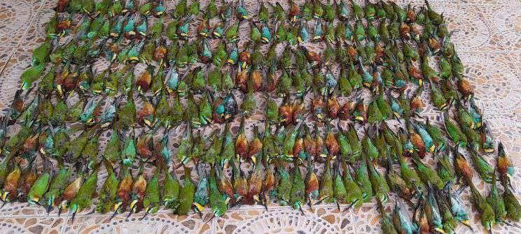 قتل عام ۳۱۱ پرنده زنبور خوار در طارم سفلی