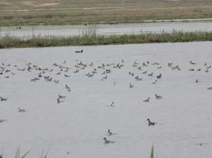 افزایش پرندگان مهاجر آبزی پس از احیای تالاب یعقوب آباد