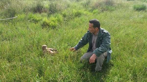 بازگشت یک بهله سارگپه پا بلند به زیستگاه های طبیعی در شهرستان کرمانشاه