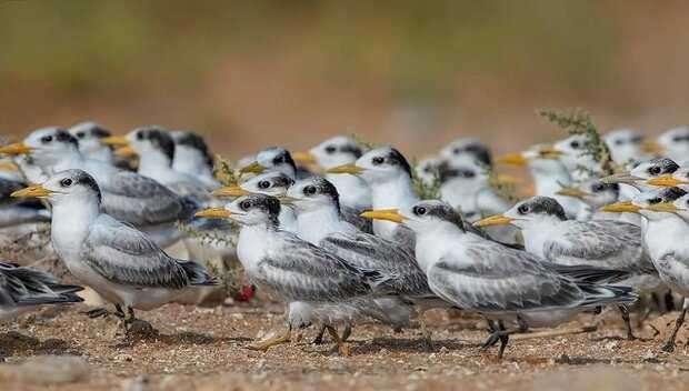 کارگاه آشنایی با پرندگان بومی و مهاجر استان بوشهر