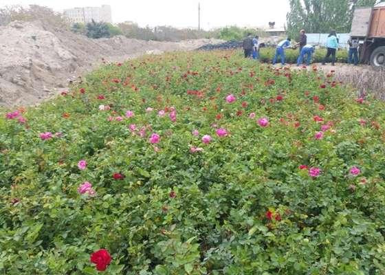 ضیافت ۷۰ هزار گل رز و یاس در جنوب غرب تبریز