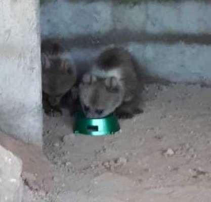 ۲ قلاده توله خرس کامفیروز در حال بازپروری هستند