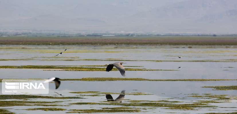 ۸۰ درصد دریاچه تالاب میقان اراک آبگیری شد