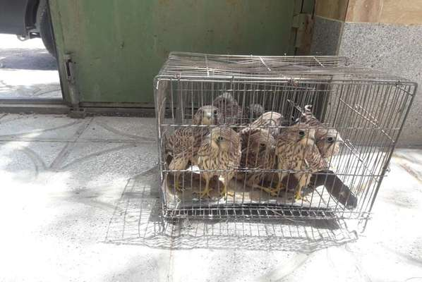 کشف ۱۵ جوجه پرنده شکاری ظرف یک هفته در خراسان رضوی