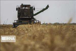 برداشت گندم از ۴۰ هزار هکتار مزارع دزفول آغاز شد