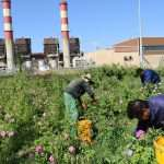 توسعه فضای سبز و کاشت محصولات کشاورزی ارگانیک در نیروگاه طوس توسط پرسنل پرتلاش خدمات