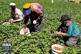 ویدئو / برداشت توت فرنگی در کردستان و مشکلات باغداران
