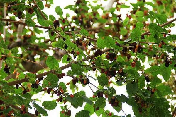 مصرف میوه درختان توت شهری، خطر مسمومیت دارد