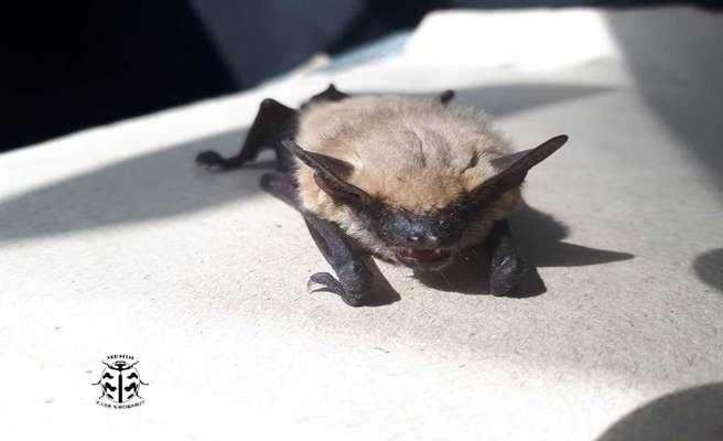 مشاهده خفاش زرد برای نخستینبار در استان یزد