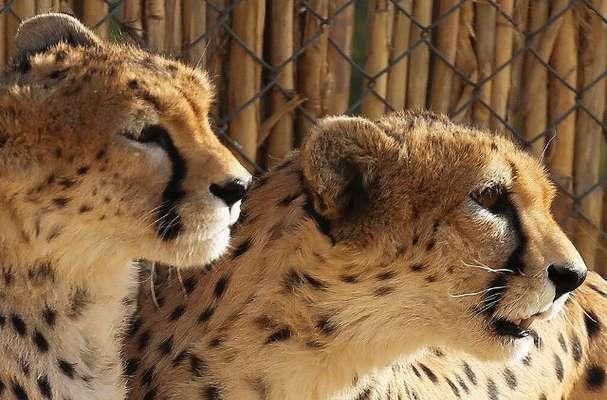 فناوري در خدمت حفاظت از يوزپلنگها