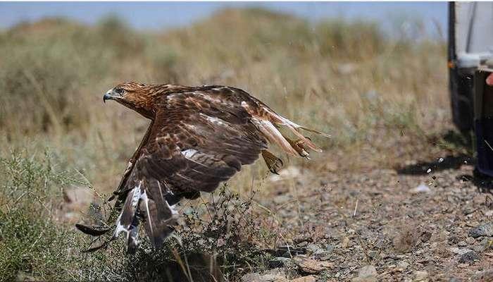 بازگشت ۲۱ پرنده شکاری همزمان با میلاد ضامن آهو به آسمان خراسان رضوی