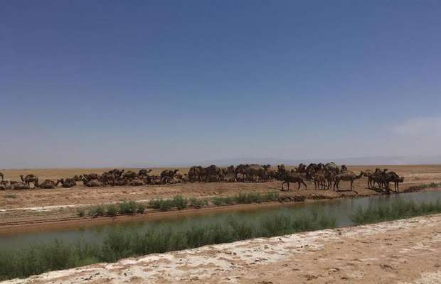اخراج گله ۴۰۰ نفری شتر و ۲۰۰۰ راس گوسفند ازمنطقه شکار تیراندازی ممنوع ا.. آباد
