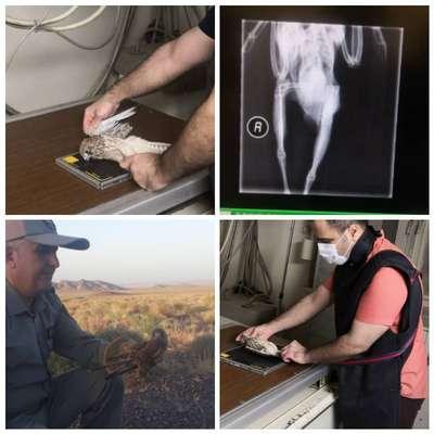 تیمار، درمان و رهاسازی یک پرنده دلیجه مصدوم  در شهرستان نایین