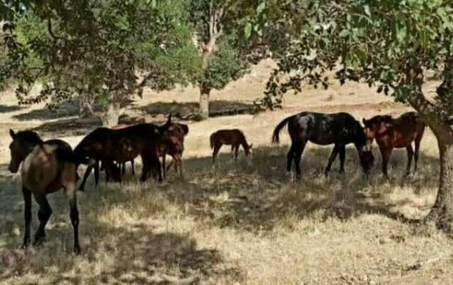 حضور اسبهای سرگردان در منطقه حفاظت شده «دینارکوه» آبدانان/ اعلام جرم علیه ۱۶ نفر