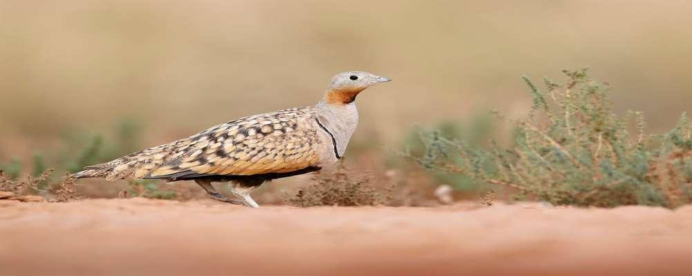 دستگیری متخلف شکار و صید پرندگان در شهرستان اردستان