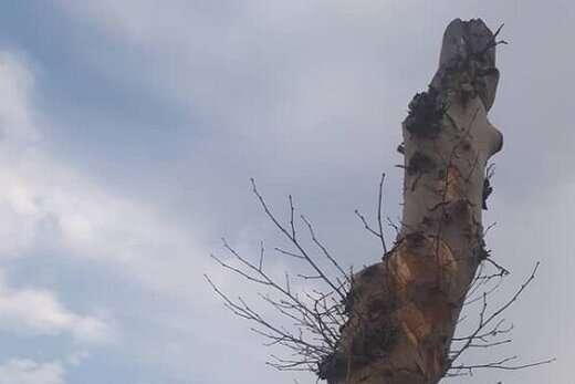 پوسیدگی کامل، علت قطع دو اصله درخت در بلوار ۲۹ بهمن