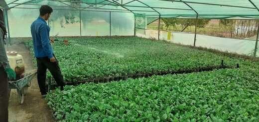 تولید بیش از ۹۰ هزار نشاء گل داودی و کلمزینتی جهت کاشت پاییزه