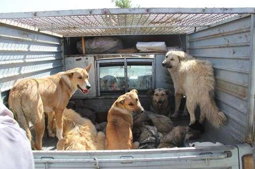 جمع آوری ۷۰۰ قلاده سگ بی صاحب از سطح حوزه شهرداری منطقه ۲